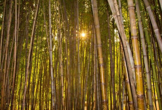 Sunset Through the Bamboo