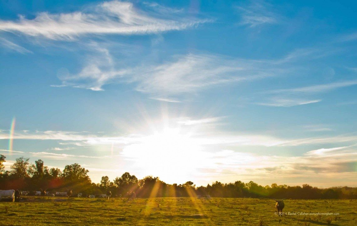 Alabama Longhorns at Sunset