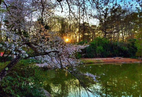 Sunset Through the Blossoms