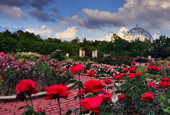 Rose Garden in Full Bloom