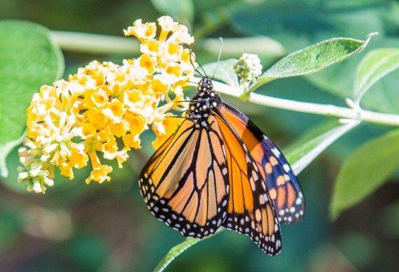 151013c-Butterfly