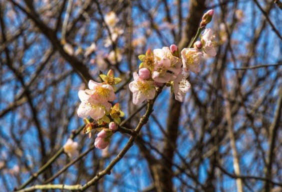 151231-Apricot-Blooms
