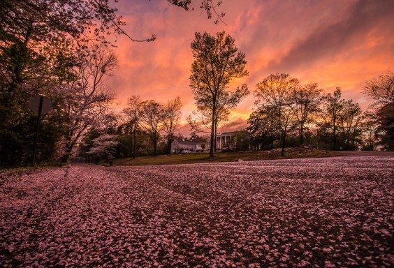 160327-Easter-Cherry-Tree-Sunset