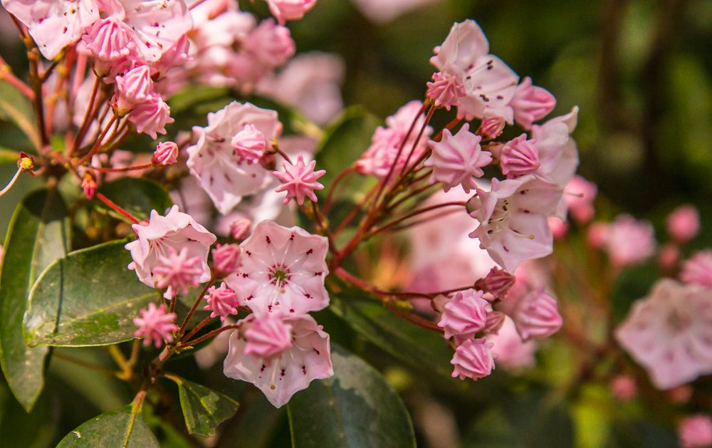 160425b-Mountain-Laurel