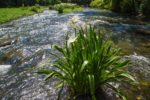 05-160524f-cahaba-lillies-copy