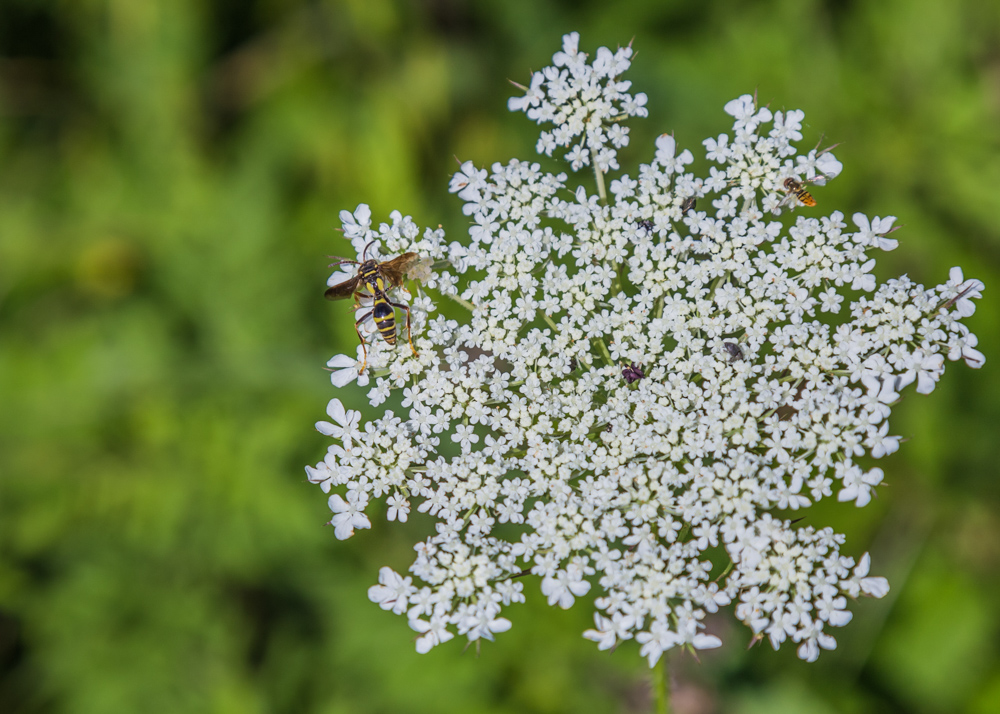 170609e Queen Annes Lace _MG_9702 s