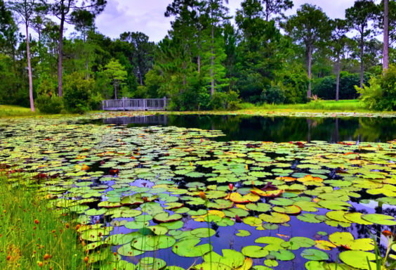 170619 Lily Pads in Florida s