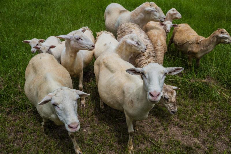 170630 Sheep _MG_9757 s