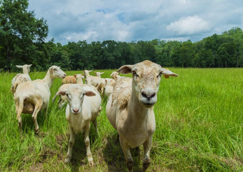 170630 Sheep _MG_9760 s