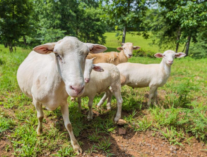 170630 Sheep _MG_9769 s
