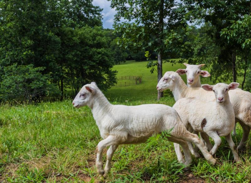 170630 Sheep _MG_9781 s