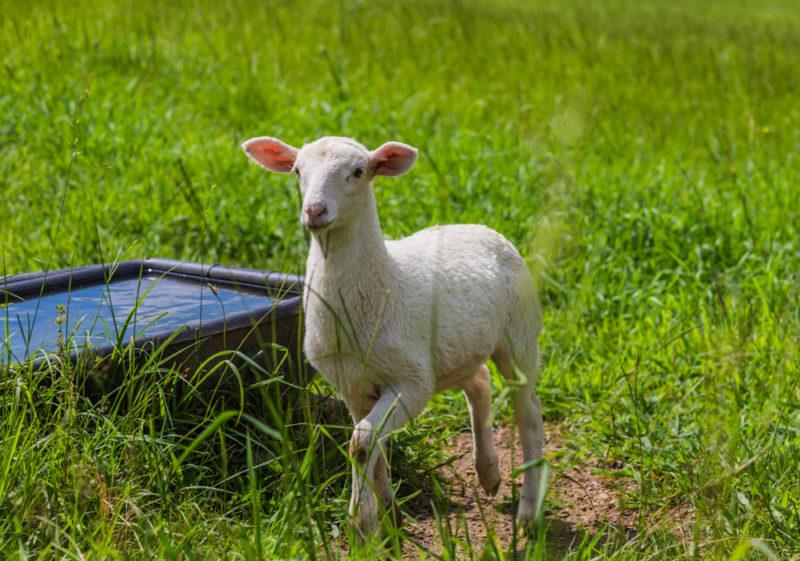 170630 Sheep _MG_9785 s