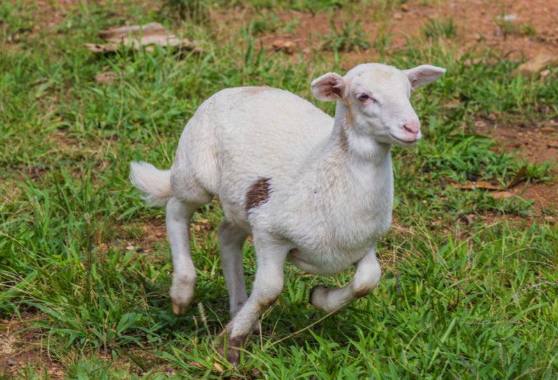 170630 Sheep _MG_9793 s