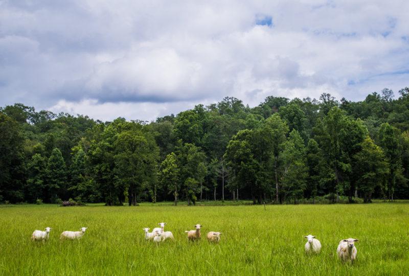 170630 Sheep_MG_9743 s