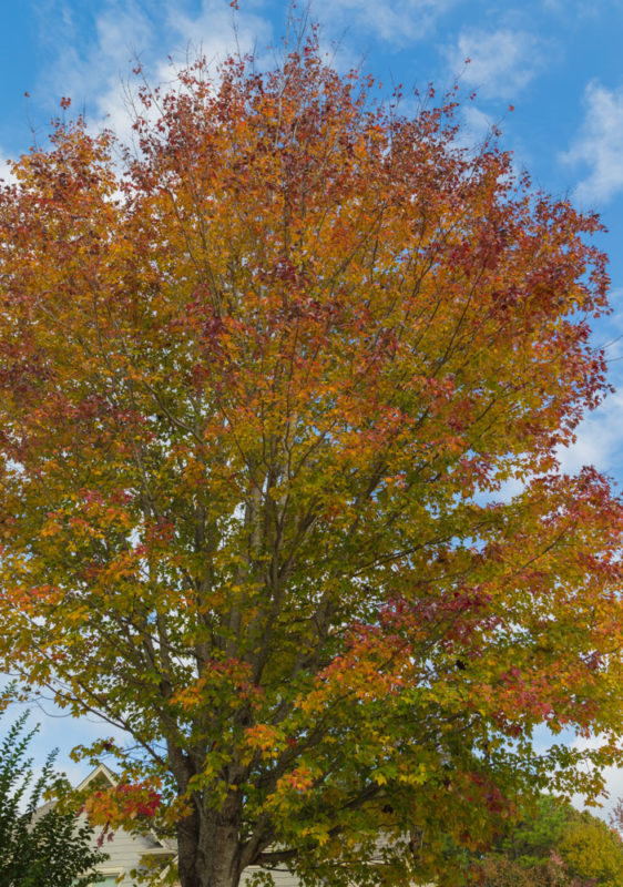 171103c November Leaves IMG_5588
