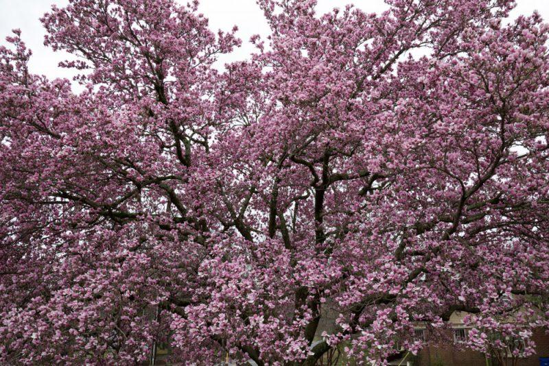 180225 The Perfect Magnolia Tree IMG_4534 s