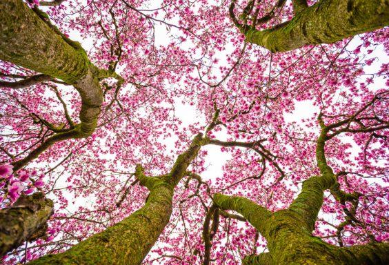 180225 The Perfect Magnolia Tree IMG_4552 s