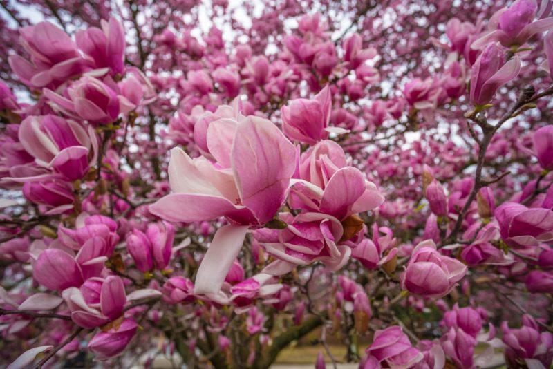 180225-The-Perfect-Magnolia-Tree-IMG_4580 s