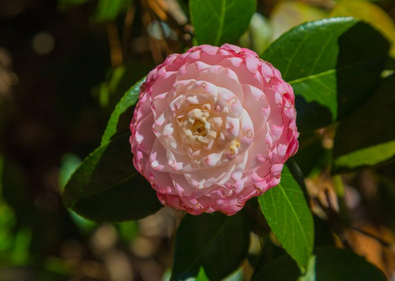 180302 Camellias at Aldridge Gardens IMG_4859 s