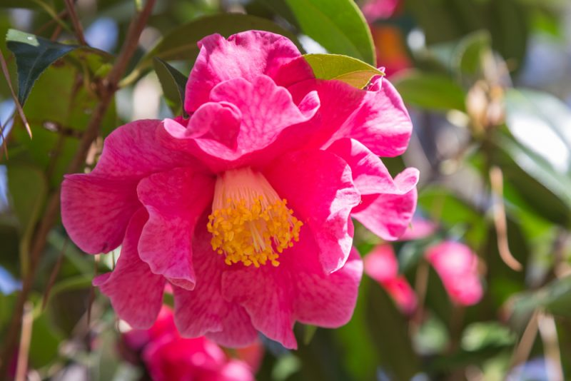 180302 Camellias at Aldridge Gardens IMG_4901 s