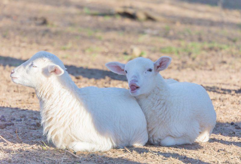 180302 Lamb Love IMG_5262 s