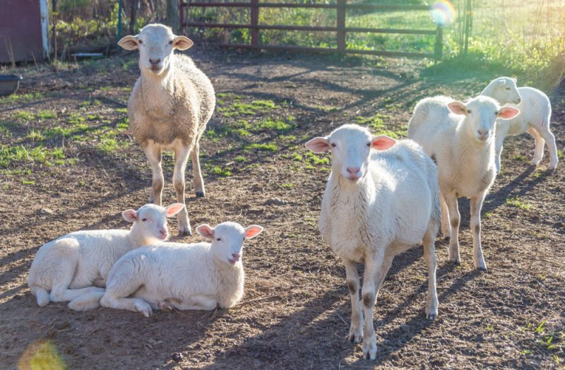 180302 Lamb Love IMG_5300 s