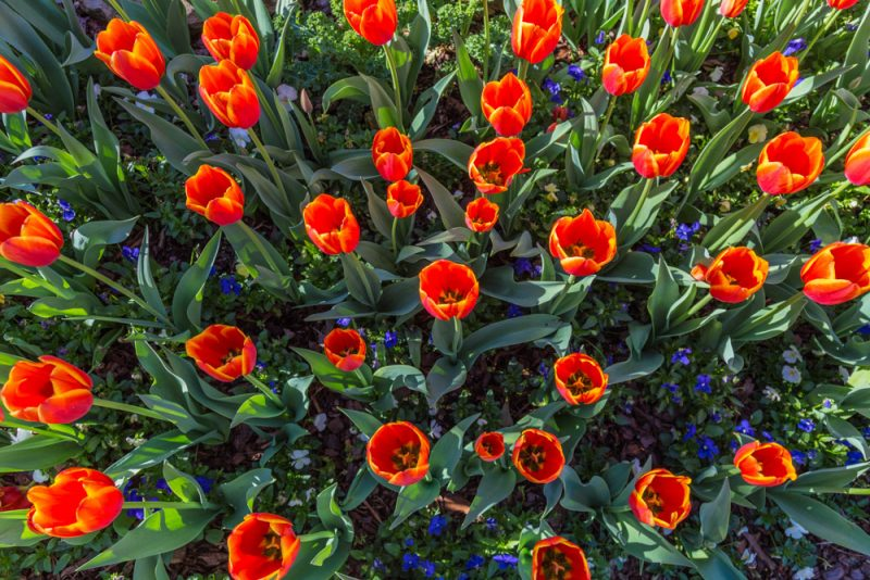 180306 Tulips at Botanical Gardens IMG_5487 s