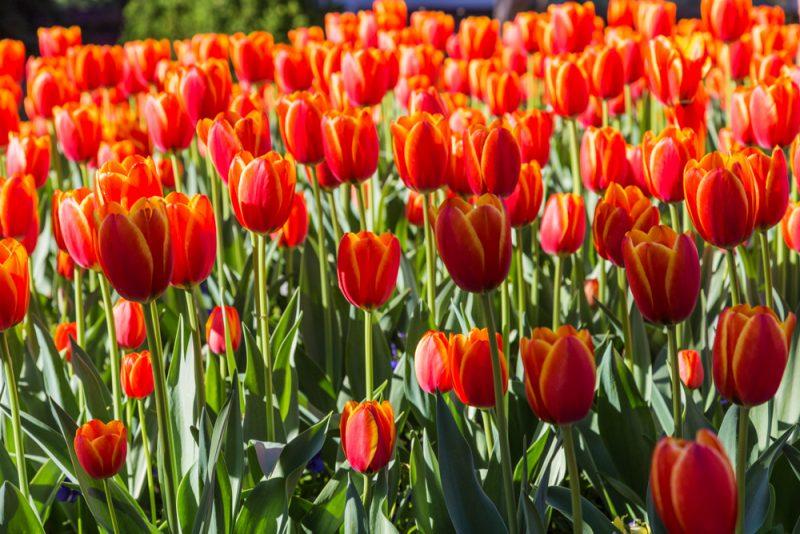 180306 Tulips at Botanical Gardens IMG_5495 s