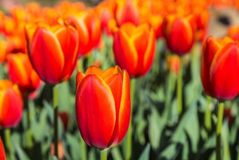 180306 Tulips at Botanical Gardens IMG_5505 s