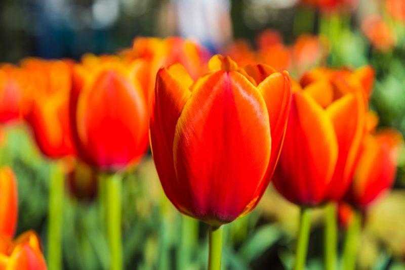 180306 Tulips at Botanical Gardens IMG_5506 s