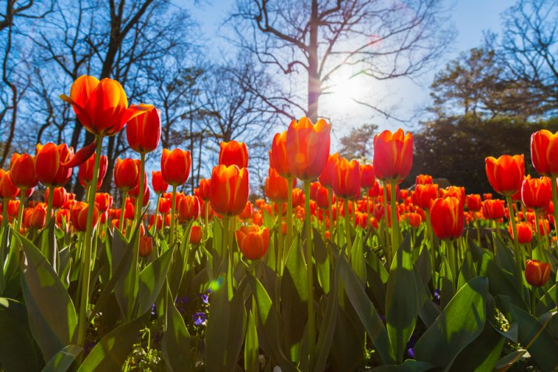 180306 Tulips at Botanical Gardens IMG_5508 s