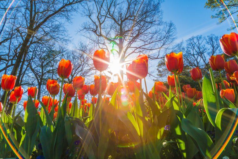 180306 Tulips at Botanical Gardens IMG_5520 s