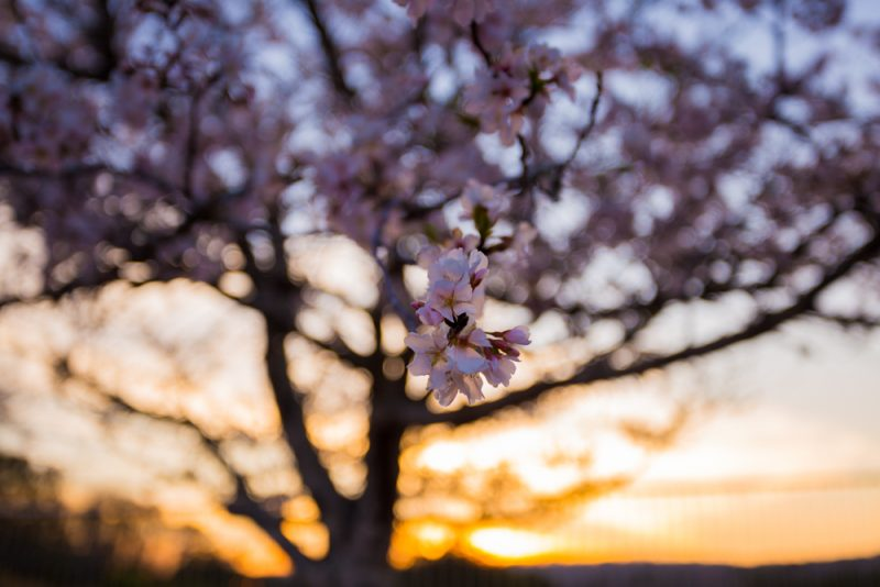 180315 Flowering Trees watching the sunset IMG_6600 s