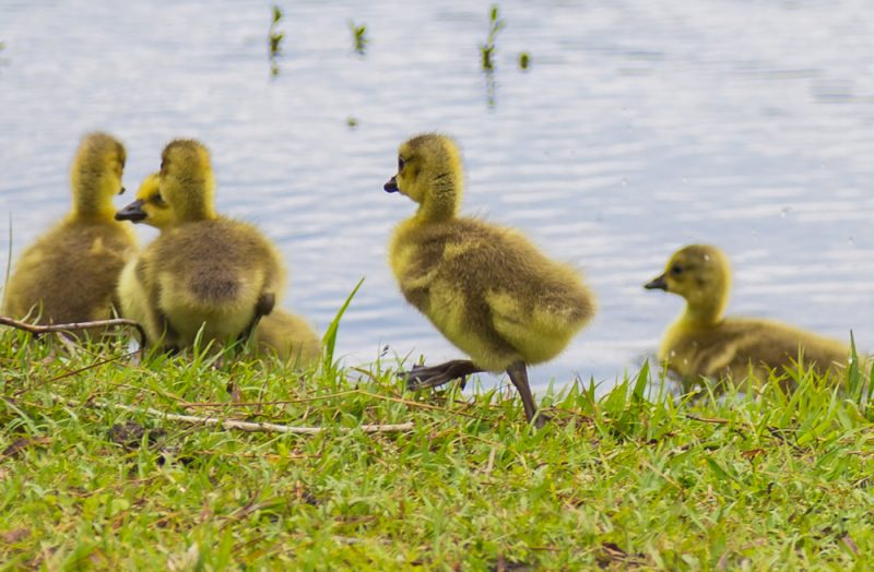 180425 Baby Geese at Oak Mountain IMG_2023 s