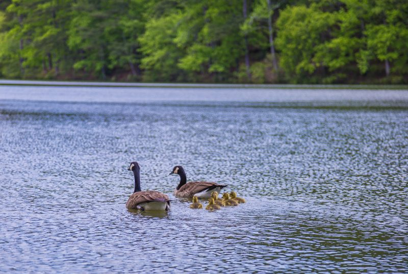 180425 Baby Geese at Oak Mountain IMG_2044 s