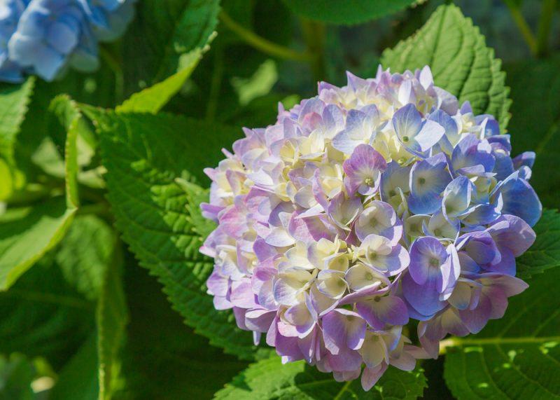 180520 Mary Jane's Hydrangeas IMG_8078