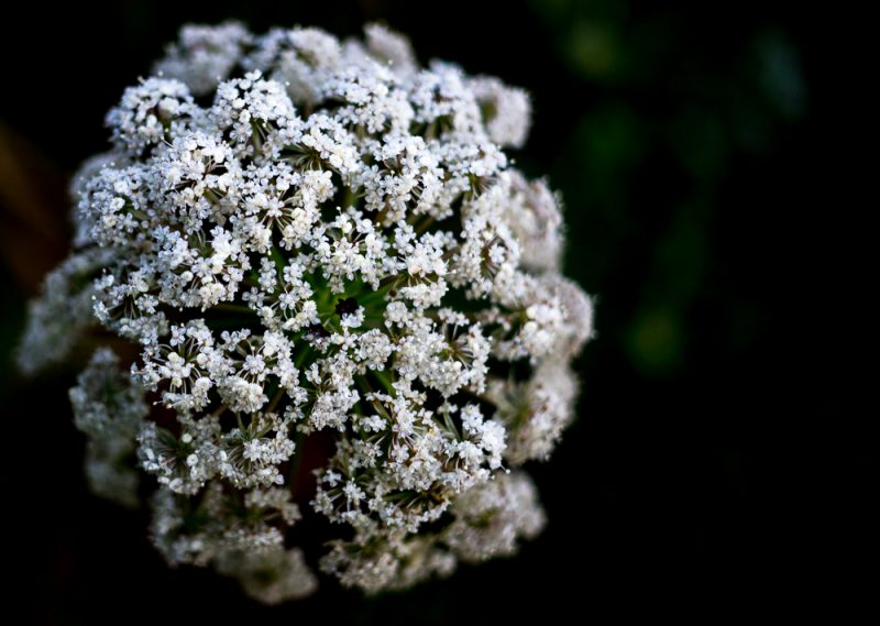 180628 Queen Anne's Lace IMG_7954 small