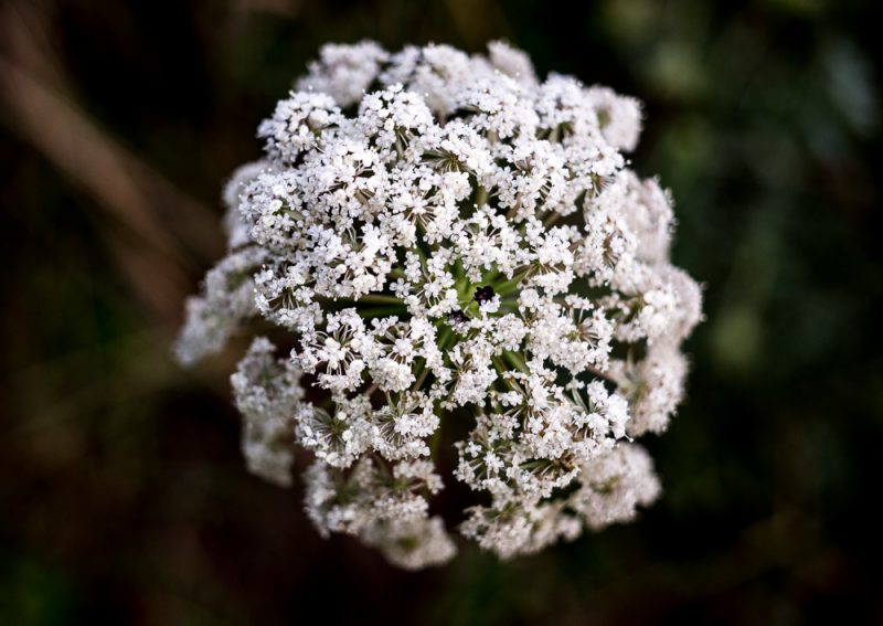 180628 Queen Anne's Lace IMG_7966 small
