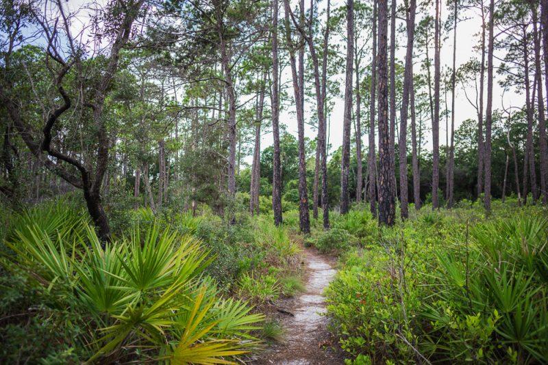 180731 Longleaf Greenway Trail Point Washington State Forest Florida IMG_1104 s