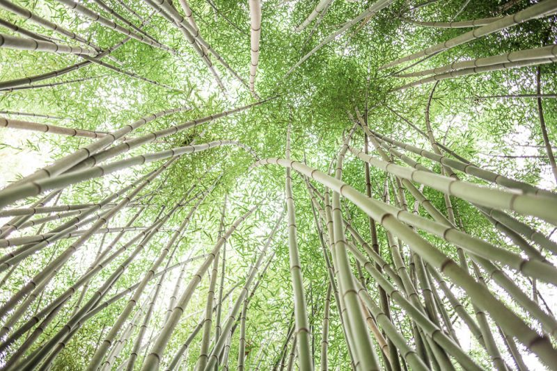 181023 Bamboo Looking Up Botanical IMG_8052 S