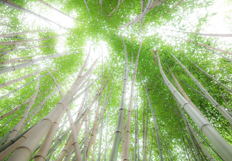 181023 Bamboo Looking Up Botanical IMG_8084 S