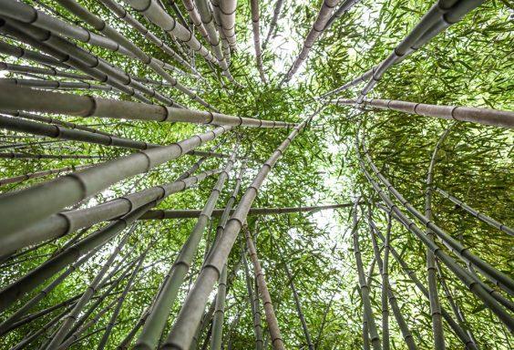181023 Bamboo Looking Up Botanical IMG_8087 S