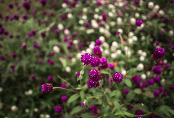 181023 Purple stage Botanical IMG_7960 S