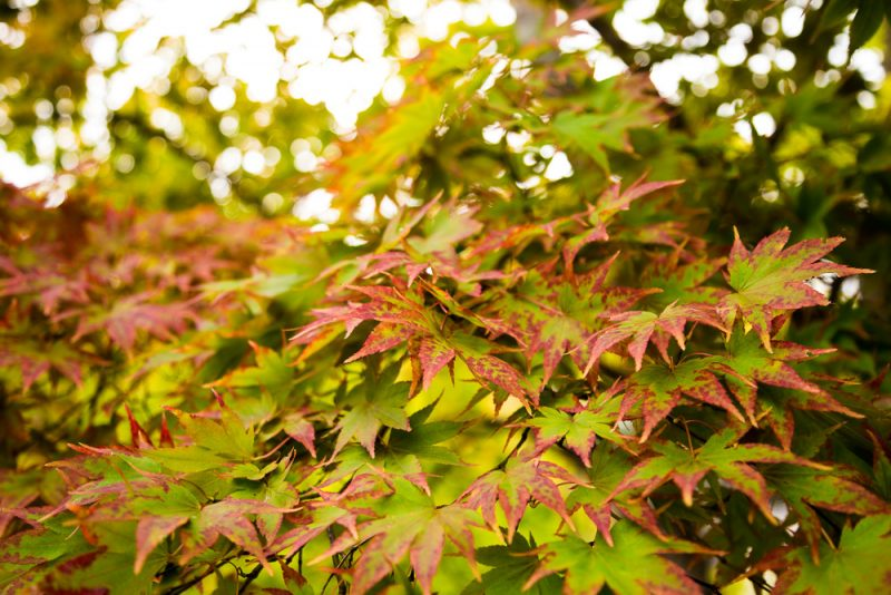 181023 christmas leaves botanical IMG_7792 S