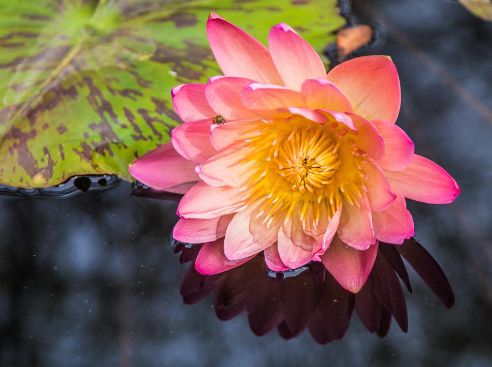 181023 lily pads botanical IMG_7745 S