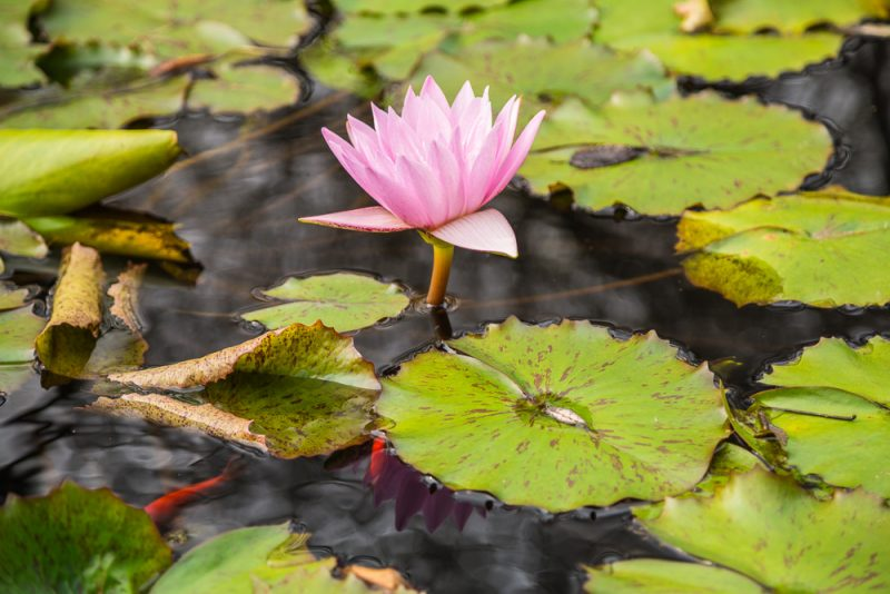 181023 lily pads botanical IMG_7756 S