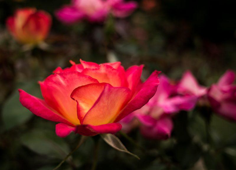 181023 roses botanical IMG_7818 S