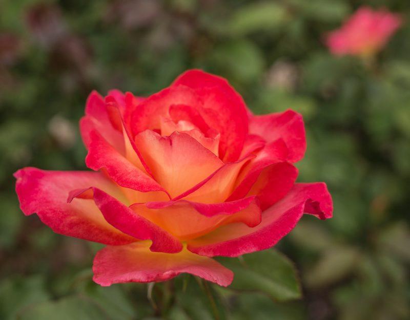 181023 roses botanical IMG_7848 S