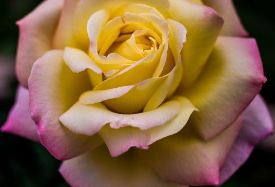 181023 roses botanical IMG_7858 S