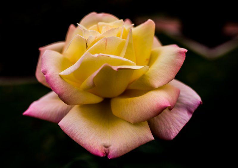 181023 roses botanical IMG_7872 S